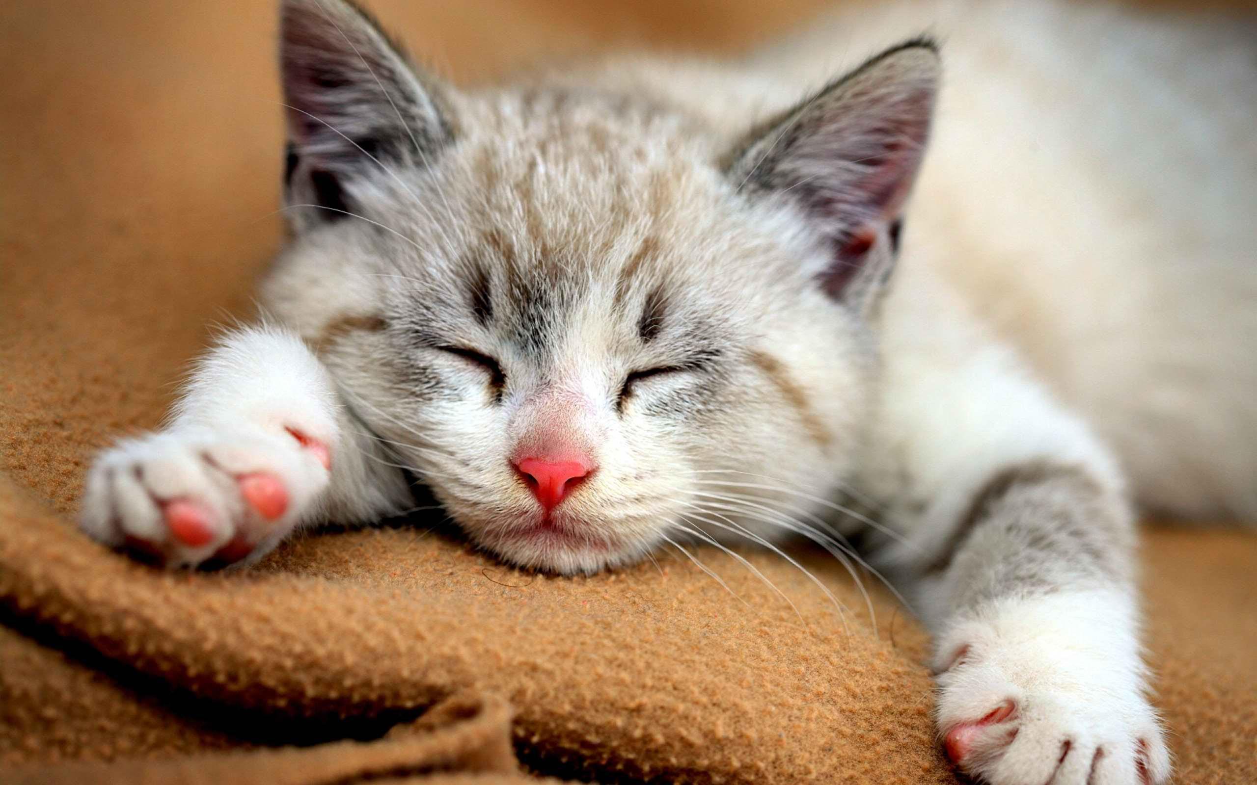 Jenis Kucing Terlucu Di Dunia