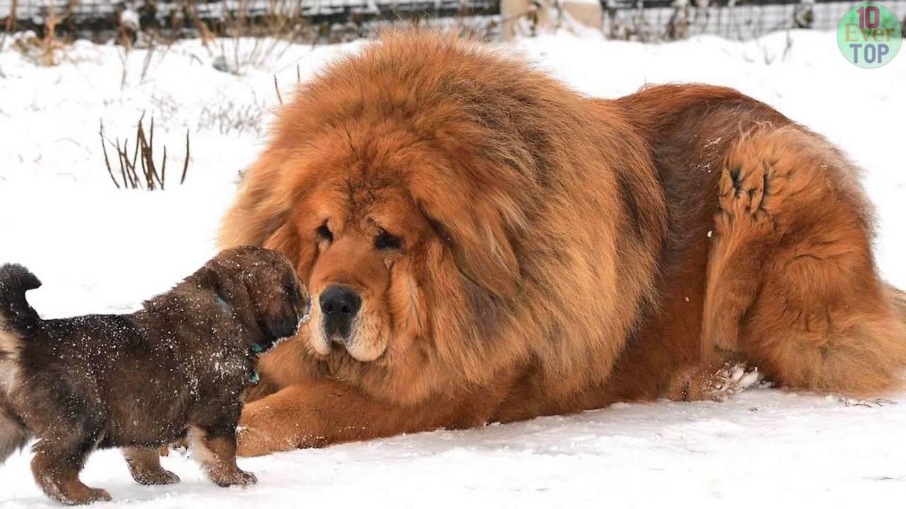 Mastiff Tibet